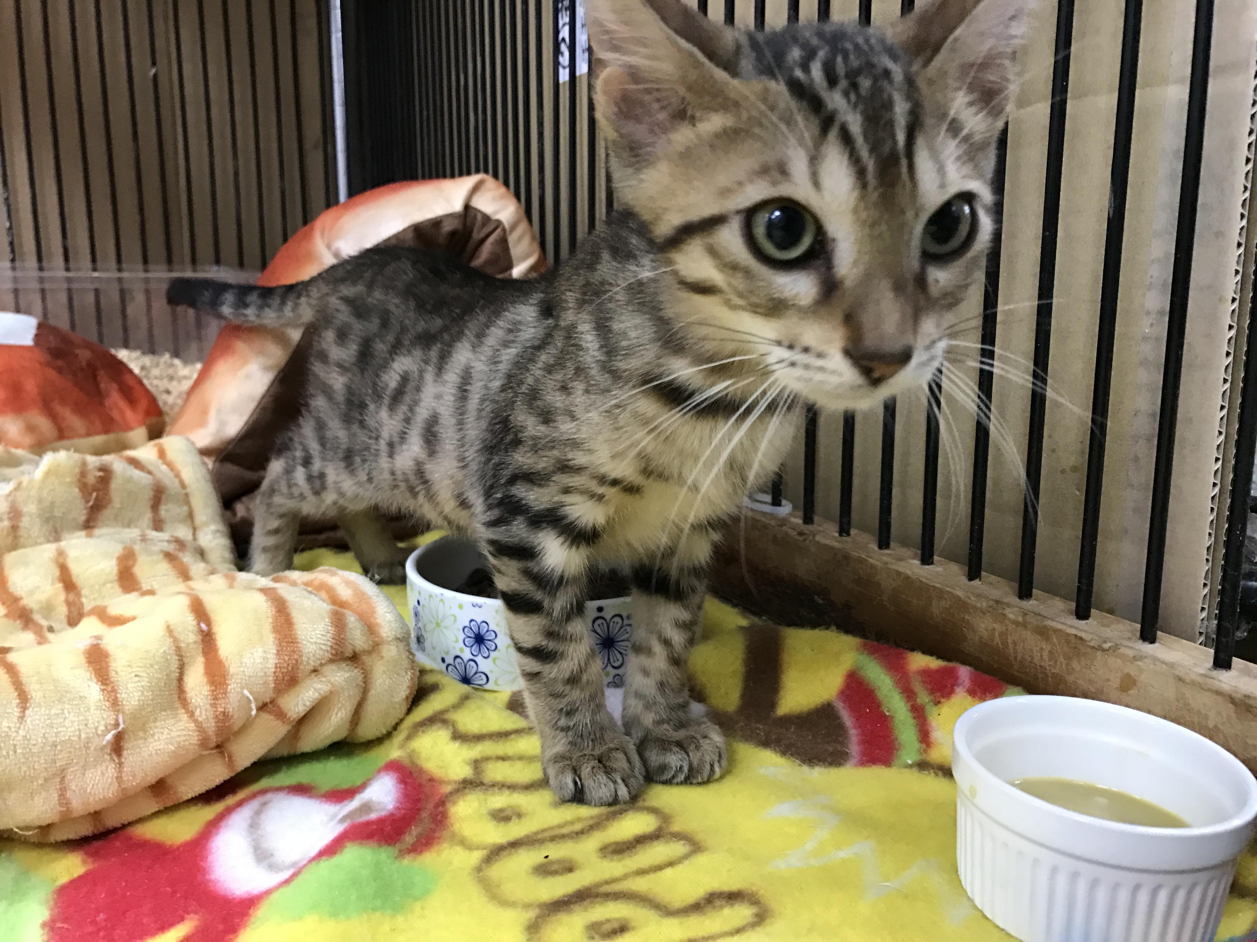 LOVE CAT♪ベンガル着弾ッ!!@インター小動物