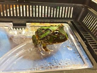 雨が降っているので、カエルも紹介したくなった気分です。