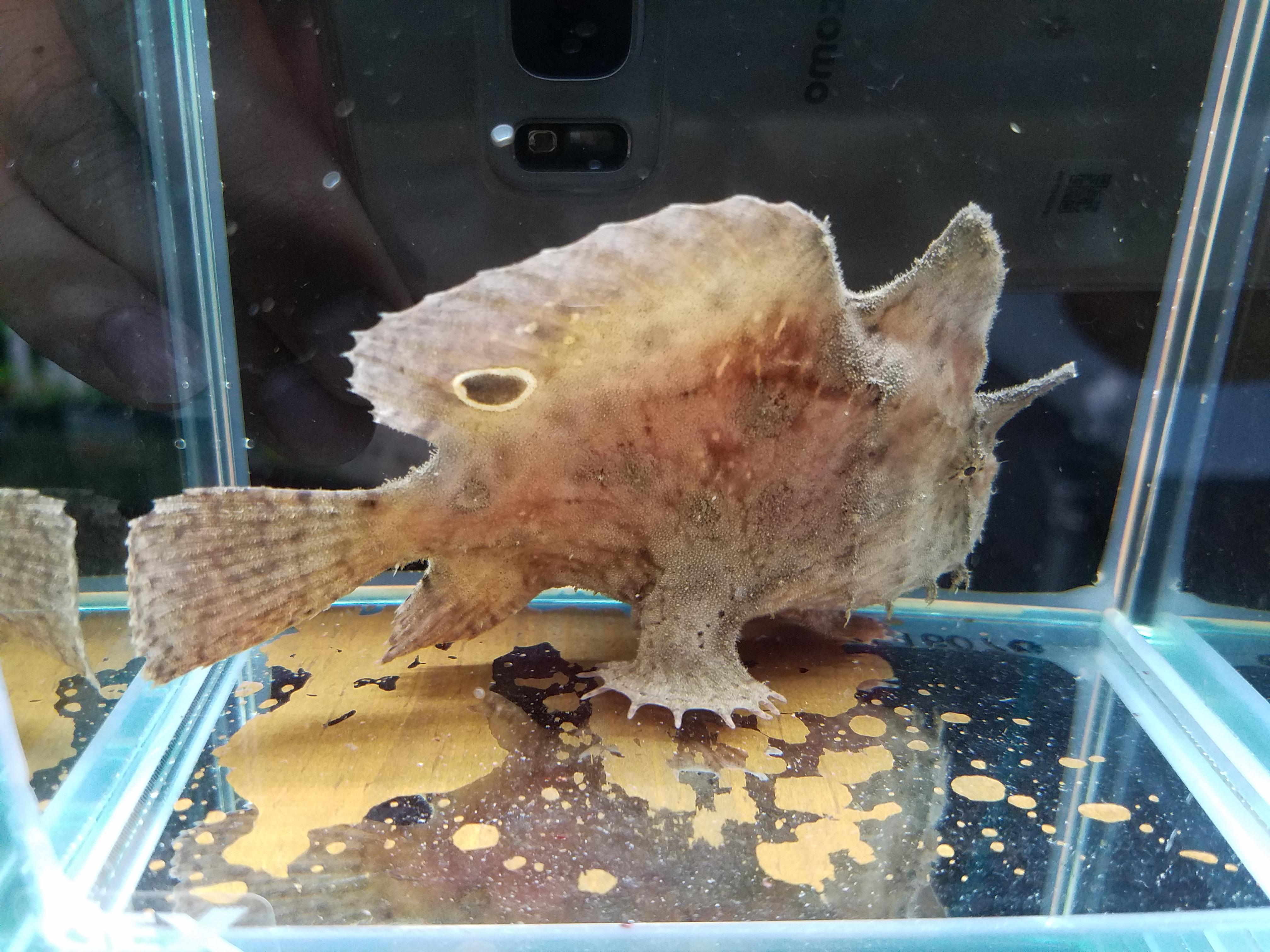 淡水カエルアンコウ、ブラキッシュスコーピオンフィッシュ入荷!mozo熱帯魚
