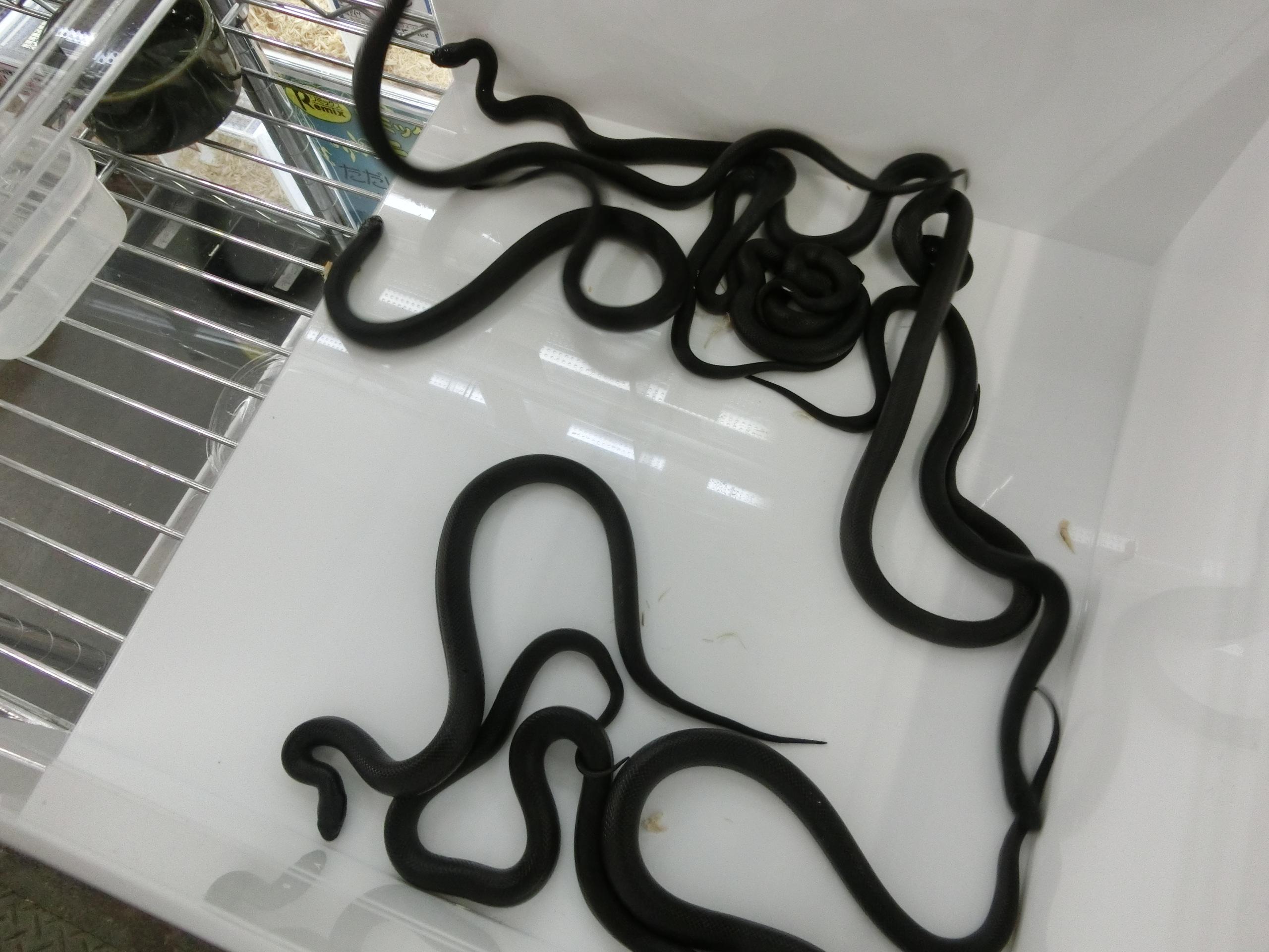 激烈!怒涛の新着入荷 漆黒の蛇もどっさりと ≪その①ヘビ編≫@みなとペポニ