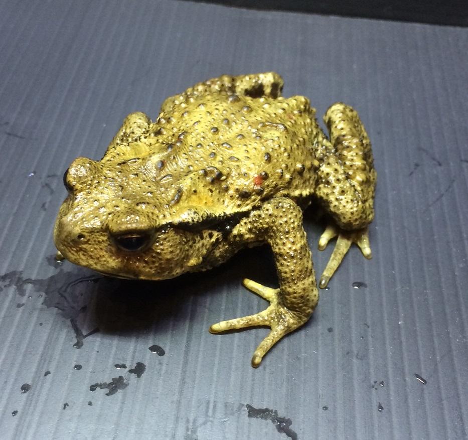 パルダリウムに日本のカエルはいかがですか?