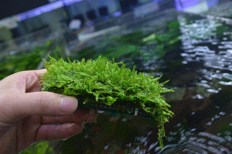 草の日!熱帯魚飼うのと一緒にどうですか?