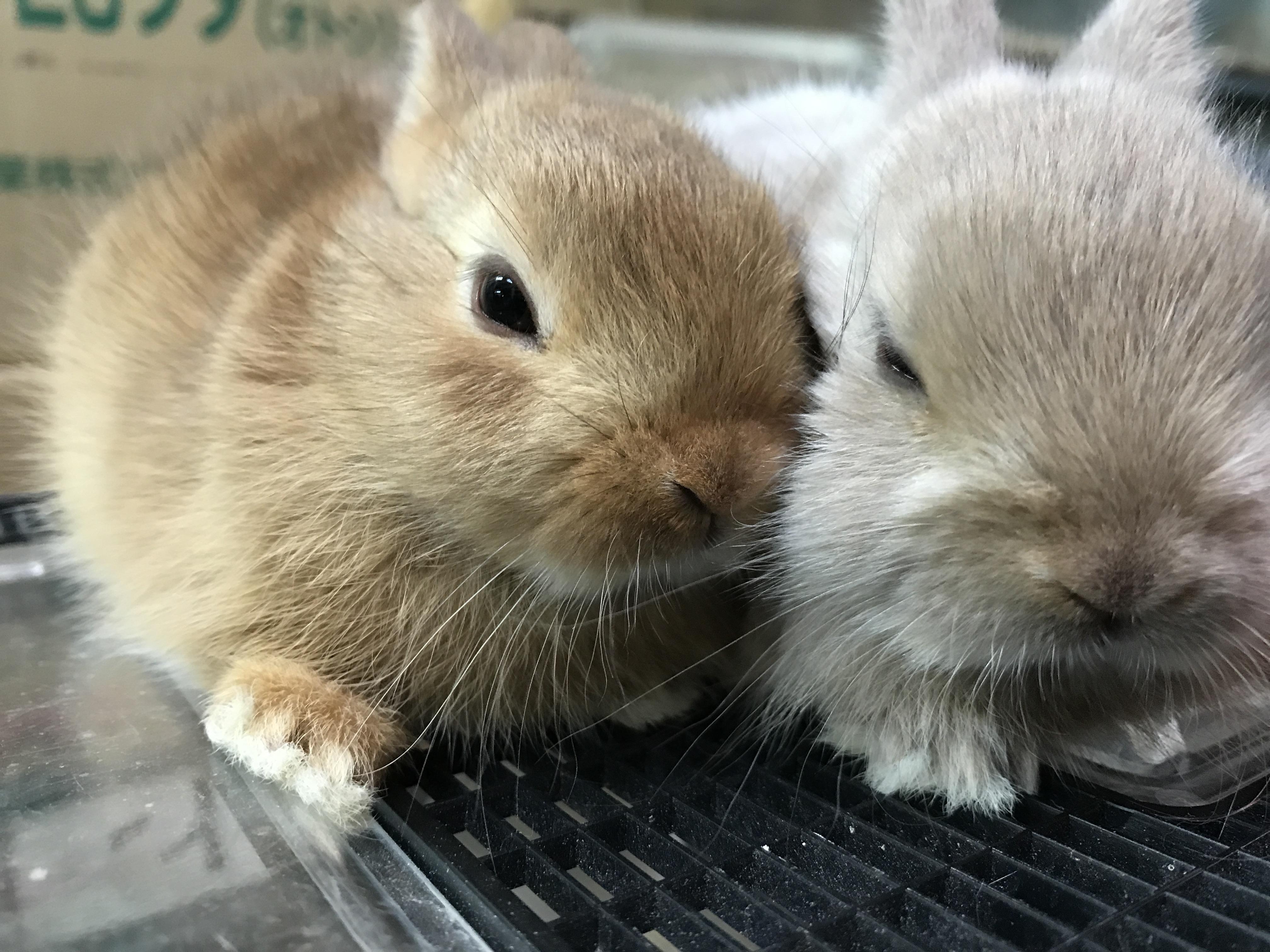 衝撃的な可愛さ!!!!ミニミニウサギ~(๑˘ ³˘๑)と、ハリーも追加♪♪@インター小動物