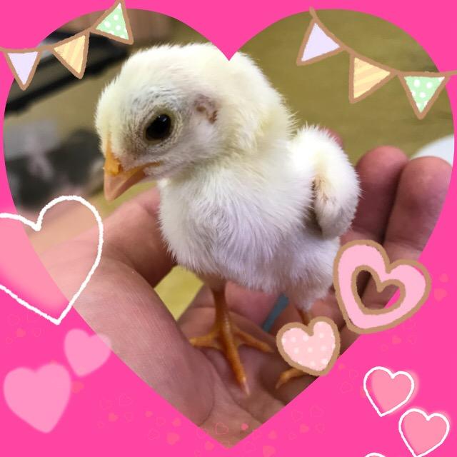 このサイズでは初!!本当は可愛い家禽の魅力♪♪@インター小動物