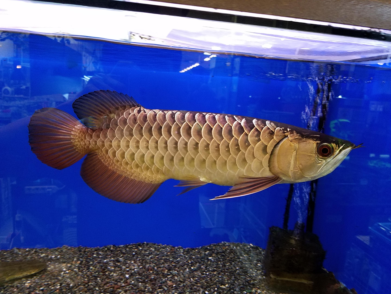 アロワナ特価のご案内 mozo熱帯魚