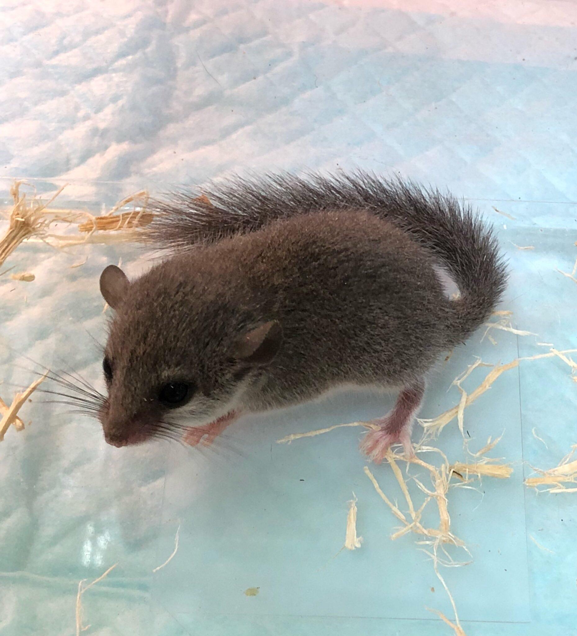 【mozoペポニ】ちんまりネズミ