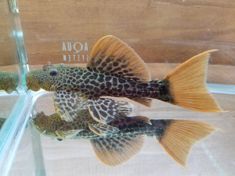 プレコ特売のお知らせ mozo 熱帯魚