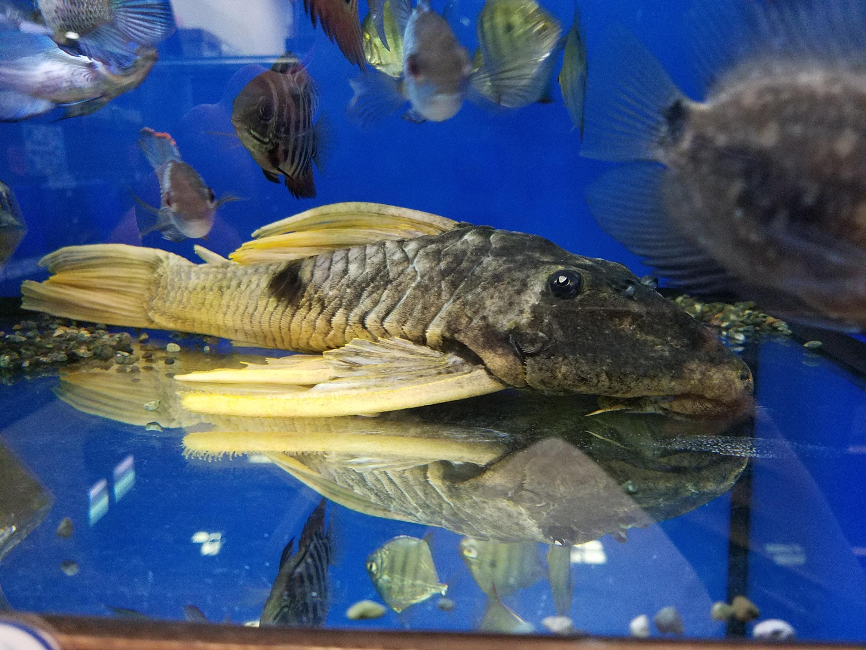 新入荷とプレコ特売2週目リスト!mozo熱帯魚