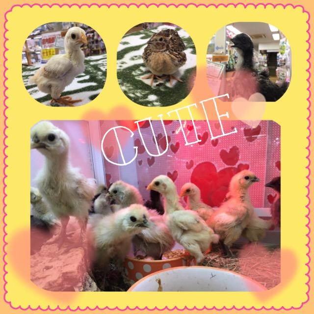 とんでもないくらい家禽にまみれております(*´▽`*)@インター小動物