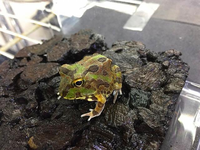 新着生体たくさん!!【亀&両生類編】@インター爬虫類