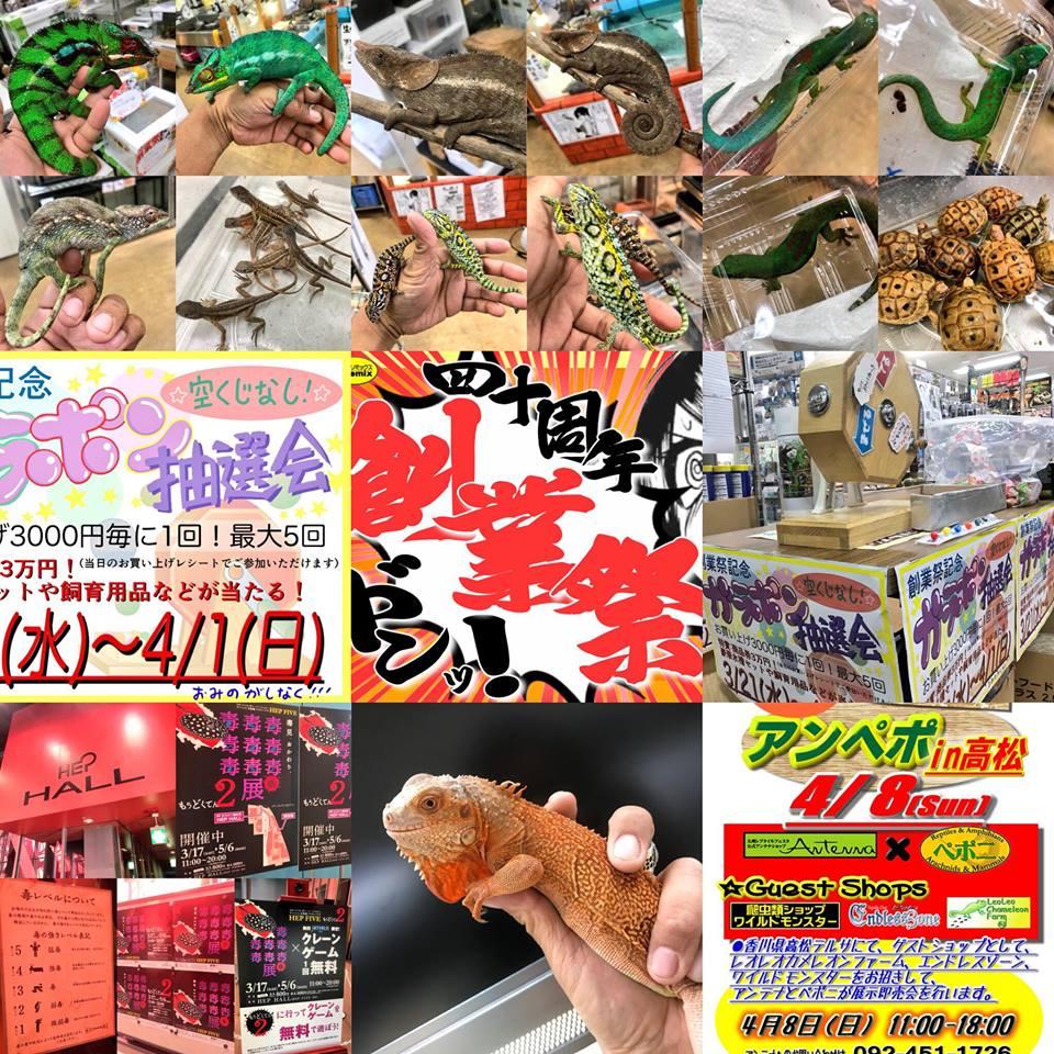 ペポニ@インター店の新着生体♪40周年創業祭もいよいよラスト!月末の本日は、特に高額生体、飼育セットなどの ご商談の絶好のチャンス!