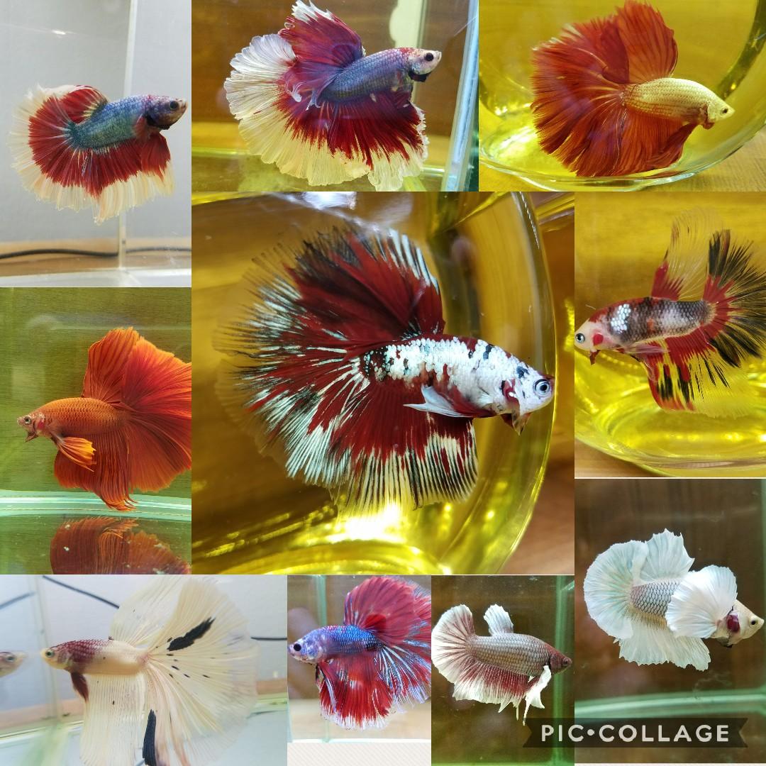 百花繚乱!ベタの華、咲き誇る!mozo熱帯魚