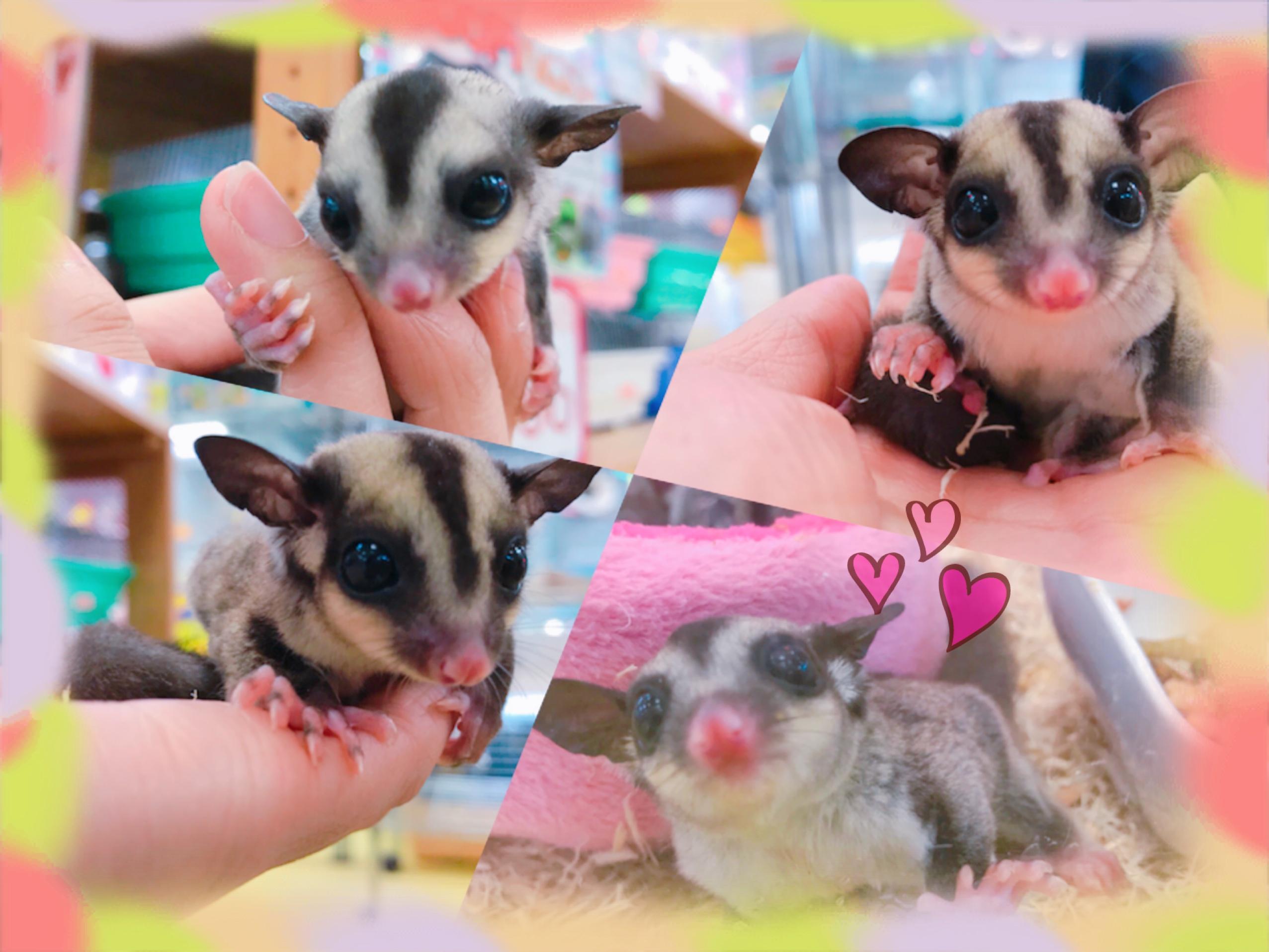 【インター小動物】可愛いフクモモBABY( *´艸`)