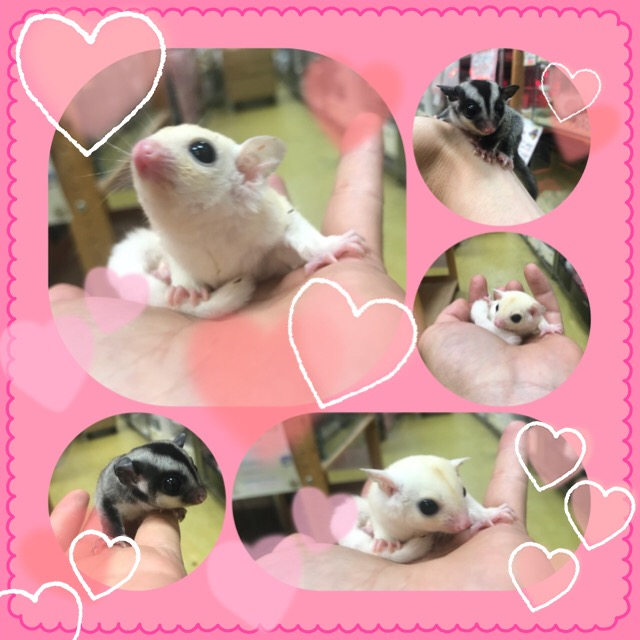 【インター小動物】「国内生まれ」の安心に包まれたフクモモBABY(´ω`)