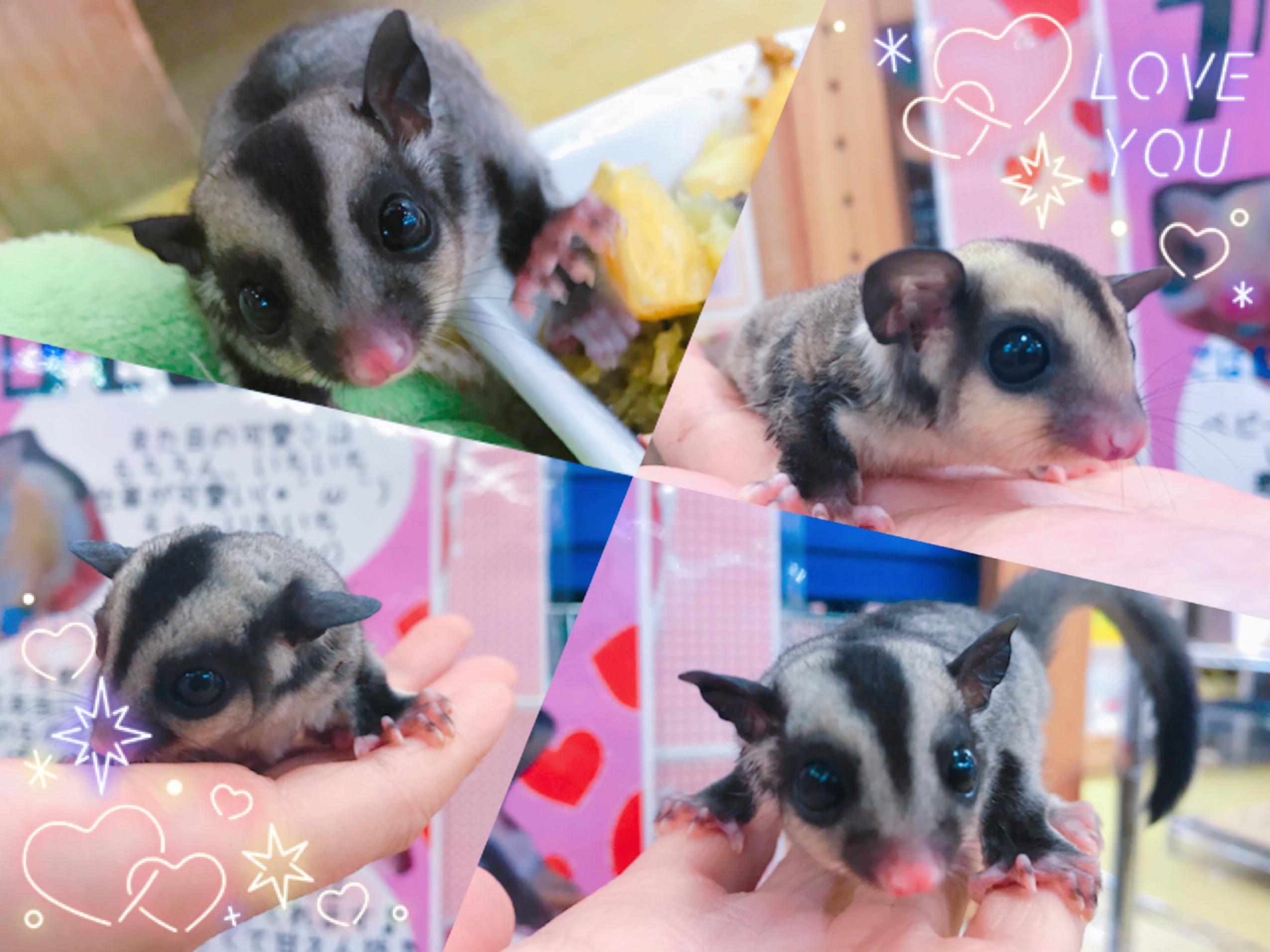 【インター小動物】可愛すぎるフクモモBABY(*´∇`*)