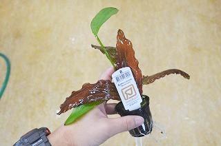 水草ブログ② デナリ以外も来てます!前回即売れアヌビアスも入荷!