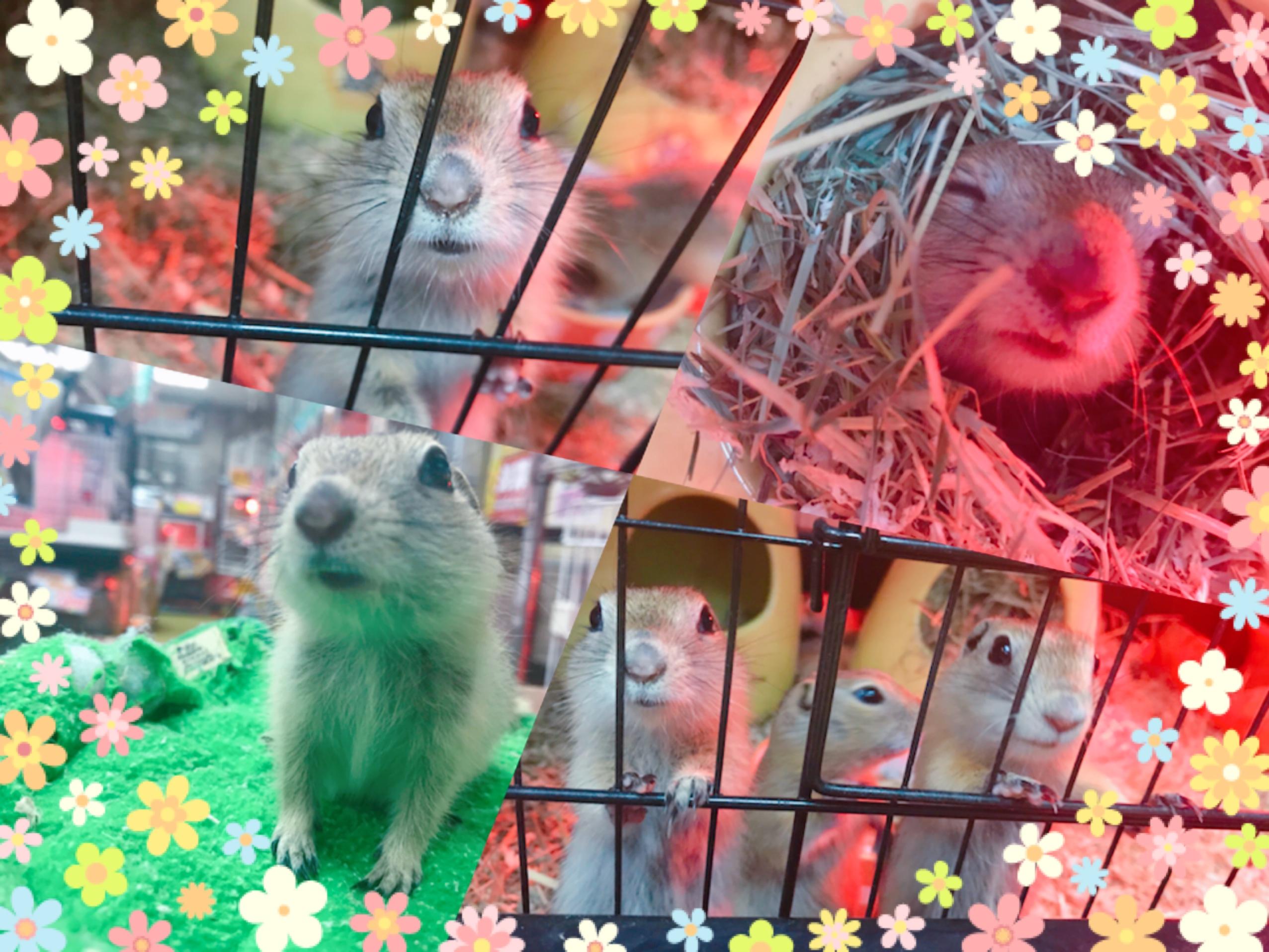 【インター小動物】リチャファン必見!!!!お待ちかねの大量入荷(*´∀`)♪