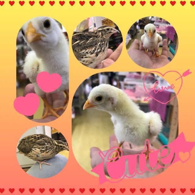 【インター小動物】今、小軍鶏がアツイ!のはインター店だけ!?w