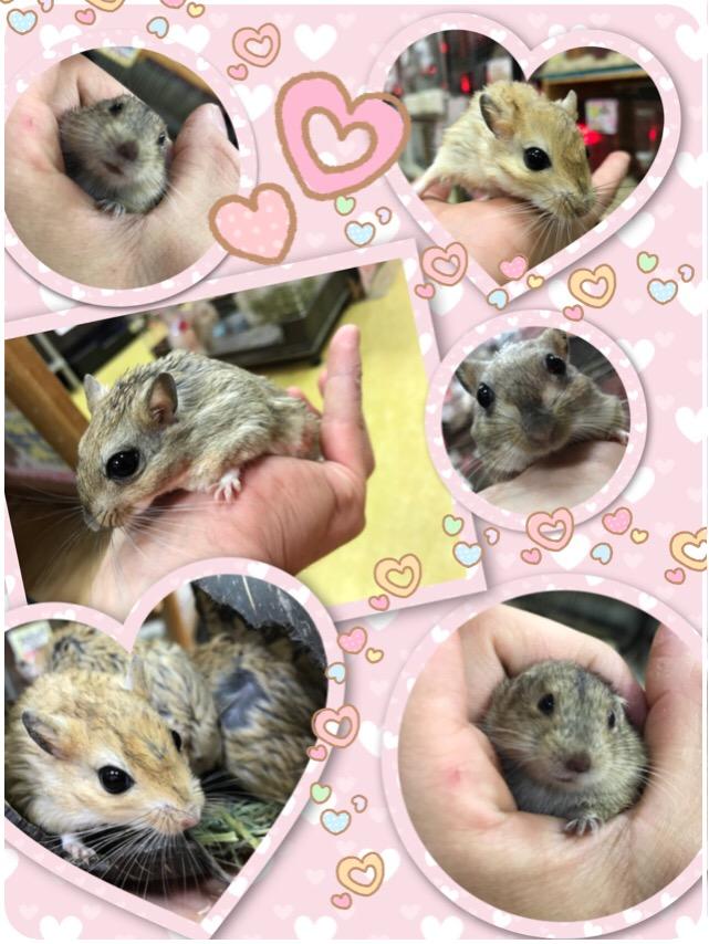 【インター小動物】可愛いジャイアンがやって参りました〜★気になる他ネズミもざっくりと!!