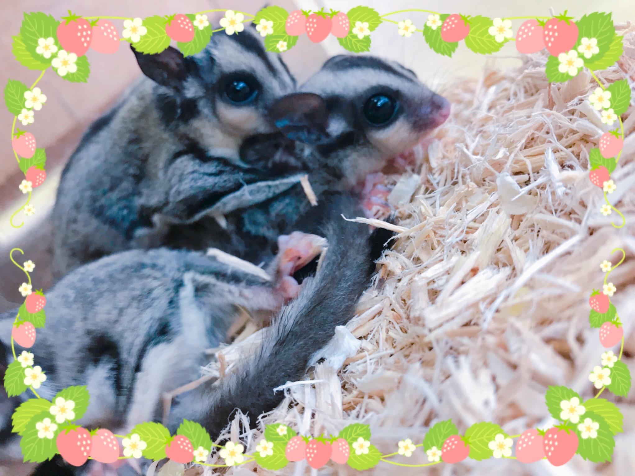 【インター小動物】cuteなフクモモbaby入荷です(*´꒳`*)