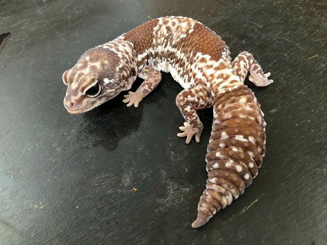 赤ちゃんヤモリと美しいヤモリ@インター爬虫類