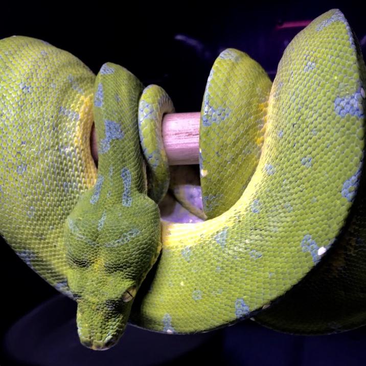 インドネシアのグリーンなやつら@インター爬虫類