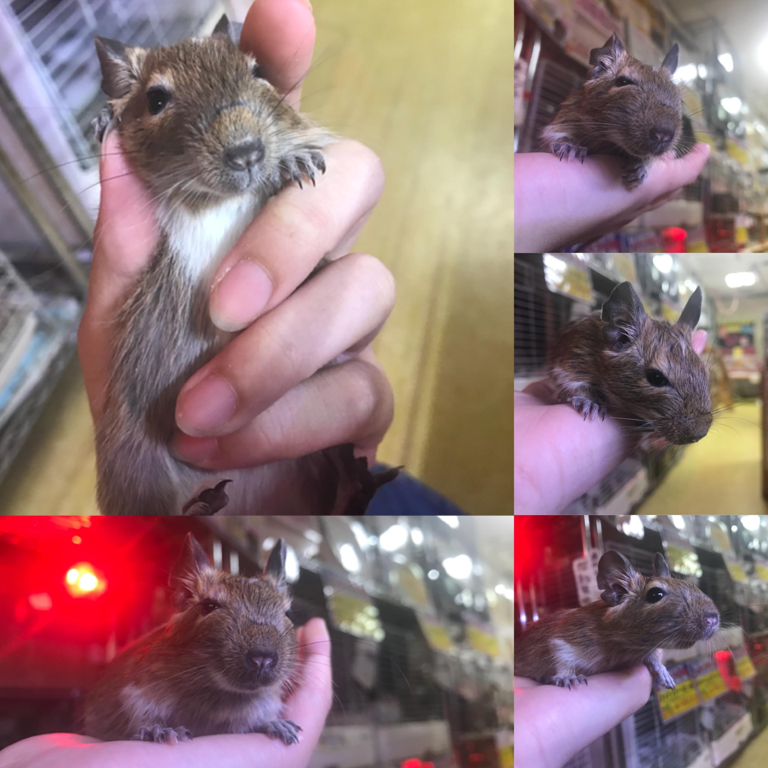 【インター小動物】歌うテンジクネズミ♪♪