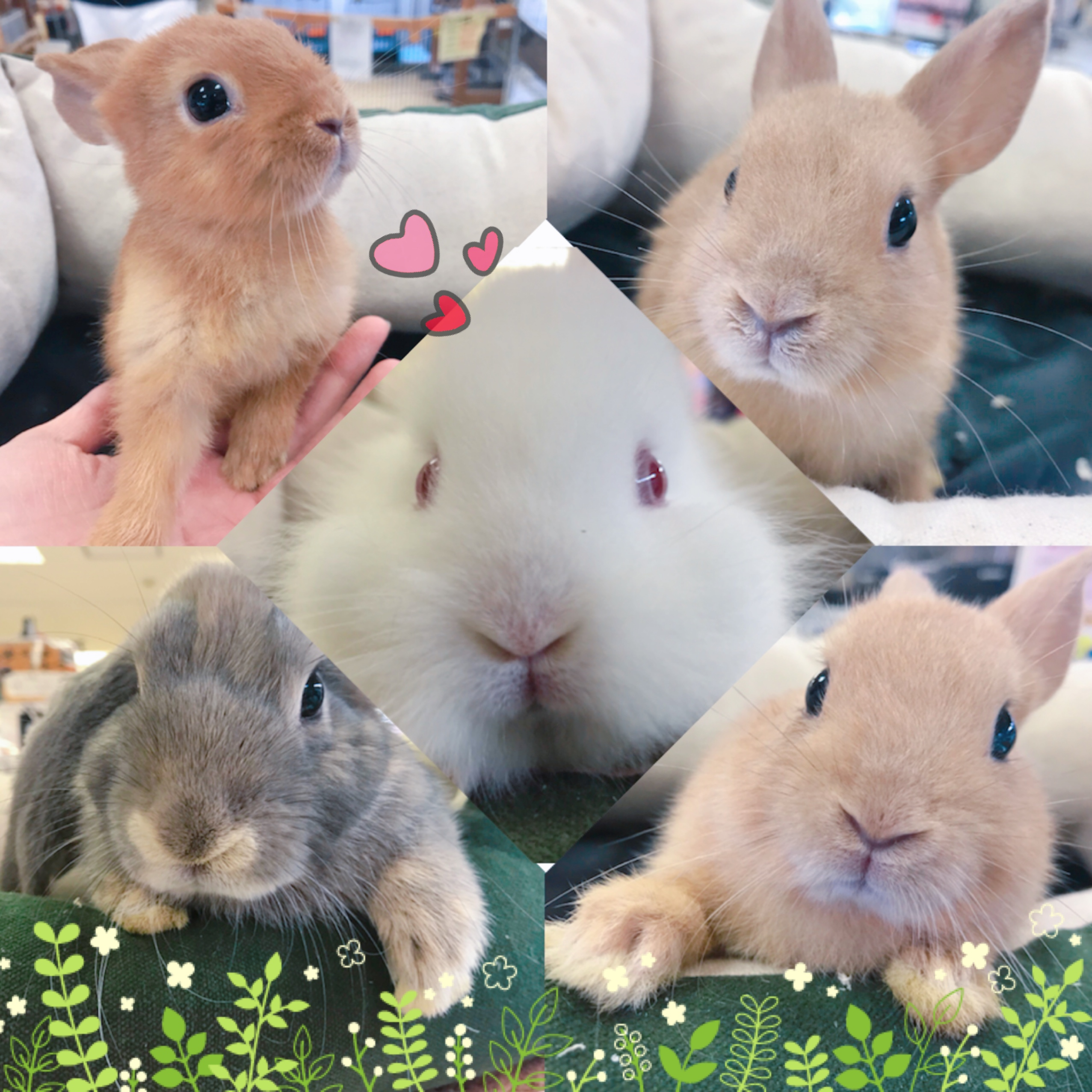 【インター小動物】久しぶりの最小ウサギ(*´ω`*)