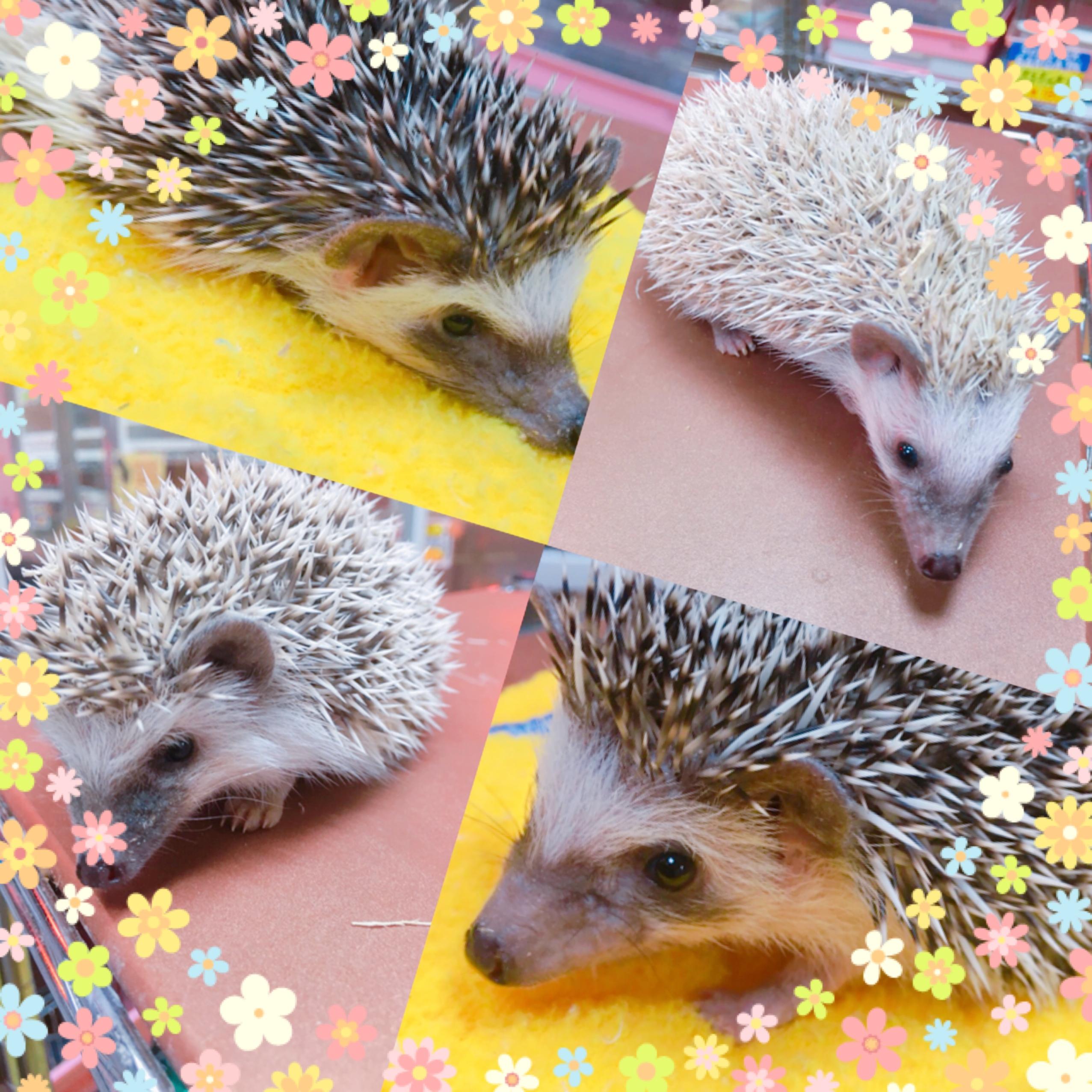 【インター小動物】たっくさんいます!!人気のチクチク♪♪