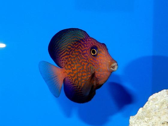 ハワイ魚~(;・∀・)