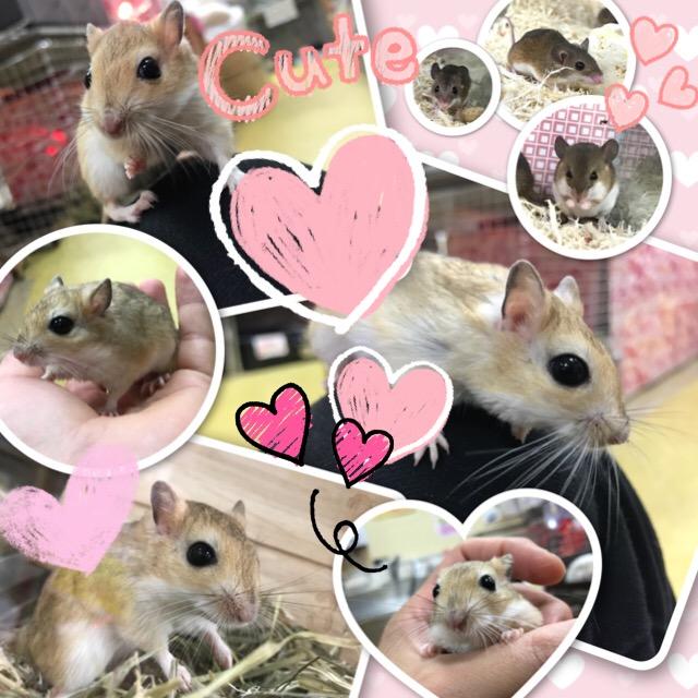 【インター小動物】大なり小なり!ジャイアントジャービルにピグミーマウス☆彡