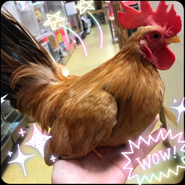 【インター小動物】家禽のクオリティの高さは、、、分かりずらいのが難点(´Д`)