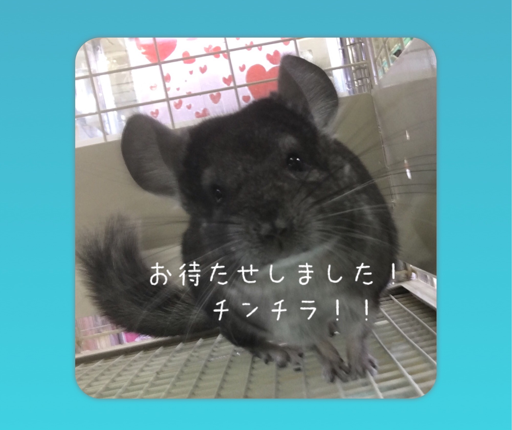【インター小動物】チンチラの嵐っ!!!!!スタンダード編