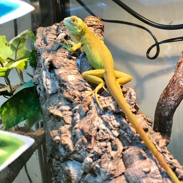 【春ペポニ】美美美な樹上蜥蜴