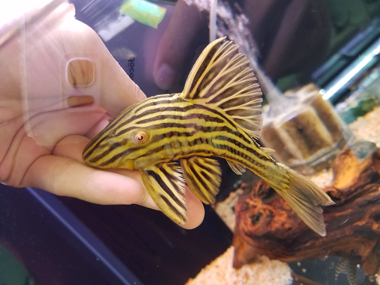ゴールデンロイヤル入荷!春日井熱帯魚