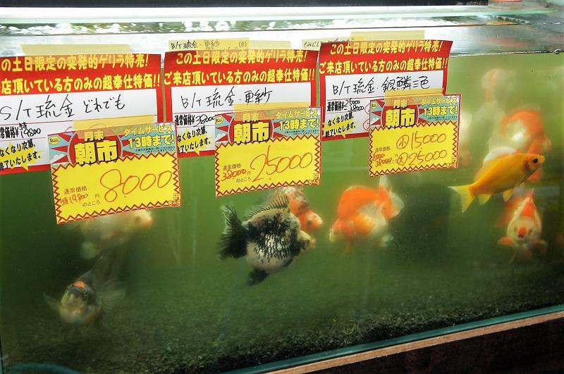 [土日特売]金魚日本一大会[朝市激化]