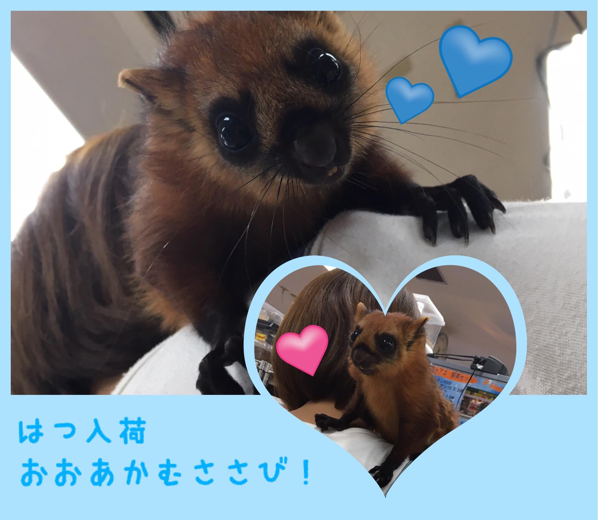 【インター小動物】おおお!?オオアカムササビ!!!