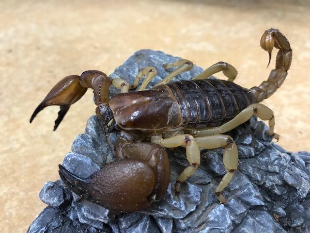マニアックな新着奇蟲@インター爬虫類