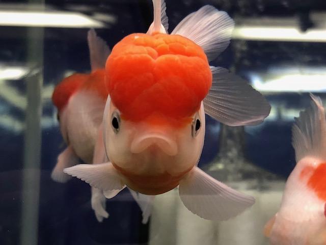 金魚もやります!!やっほぉーい!!