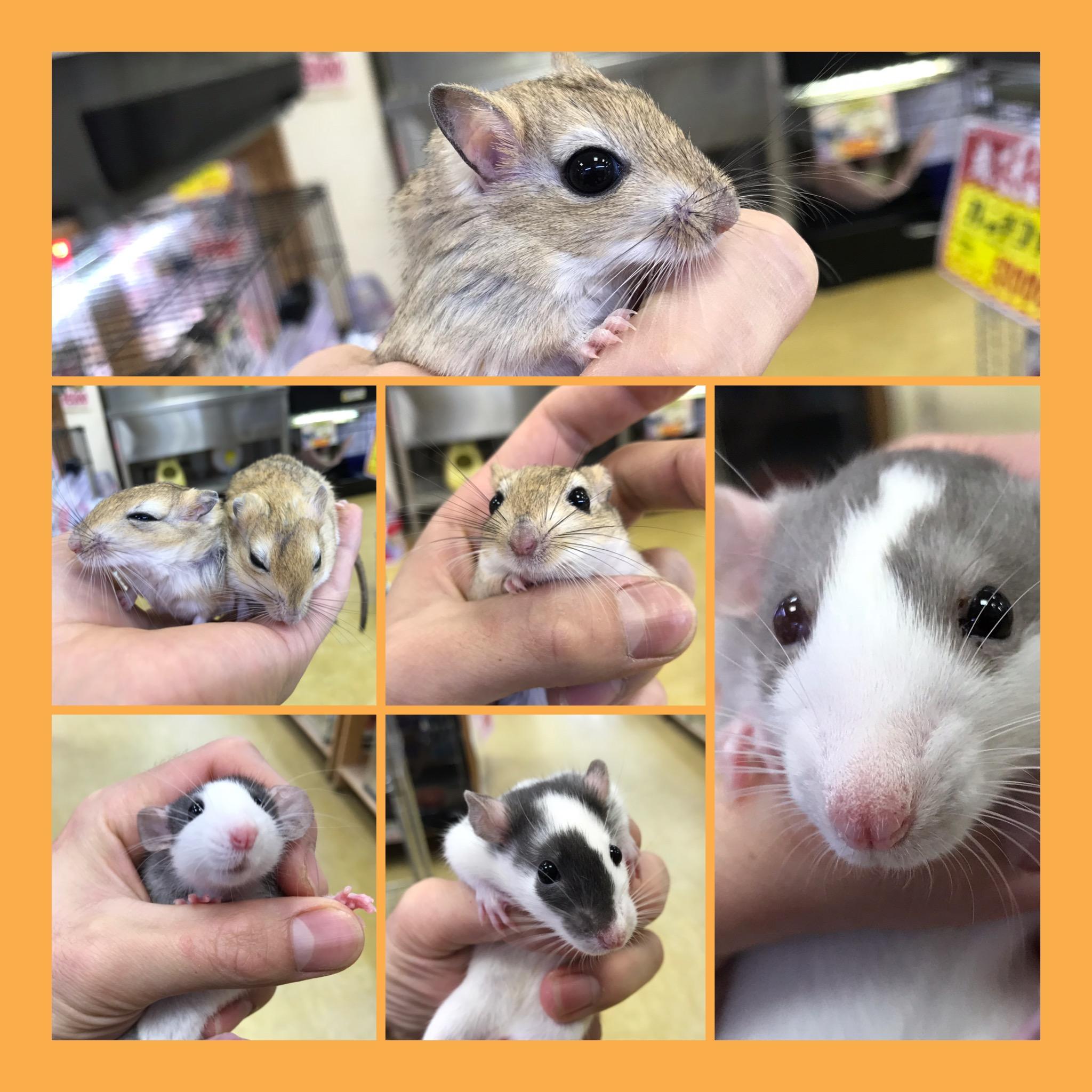 【インター小動物】まだまだネズミも入荷してます!!