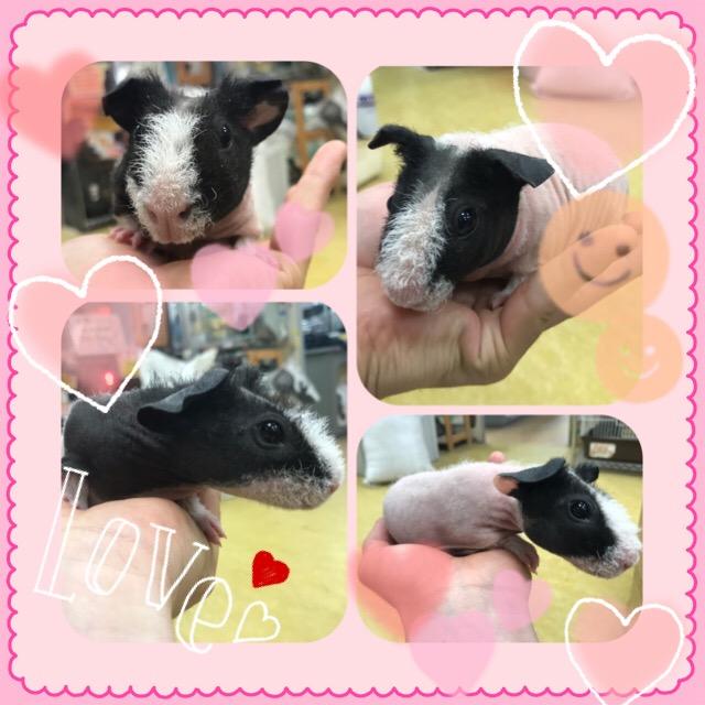 【インター小動物】ピンクなスキニーモルはお好きですか?