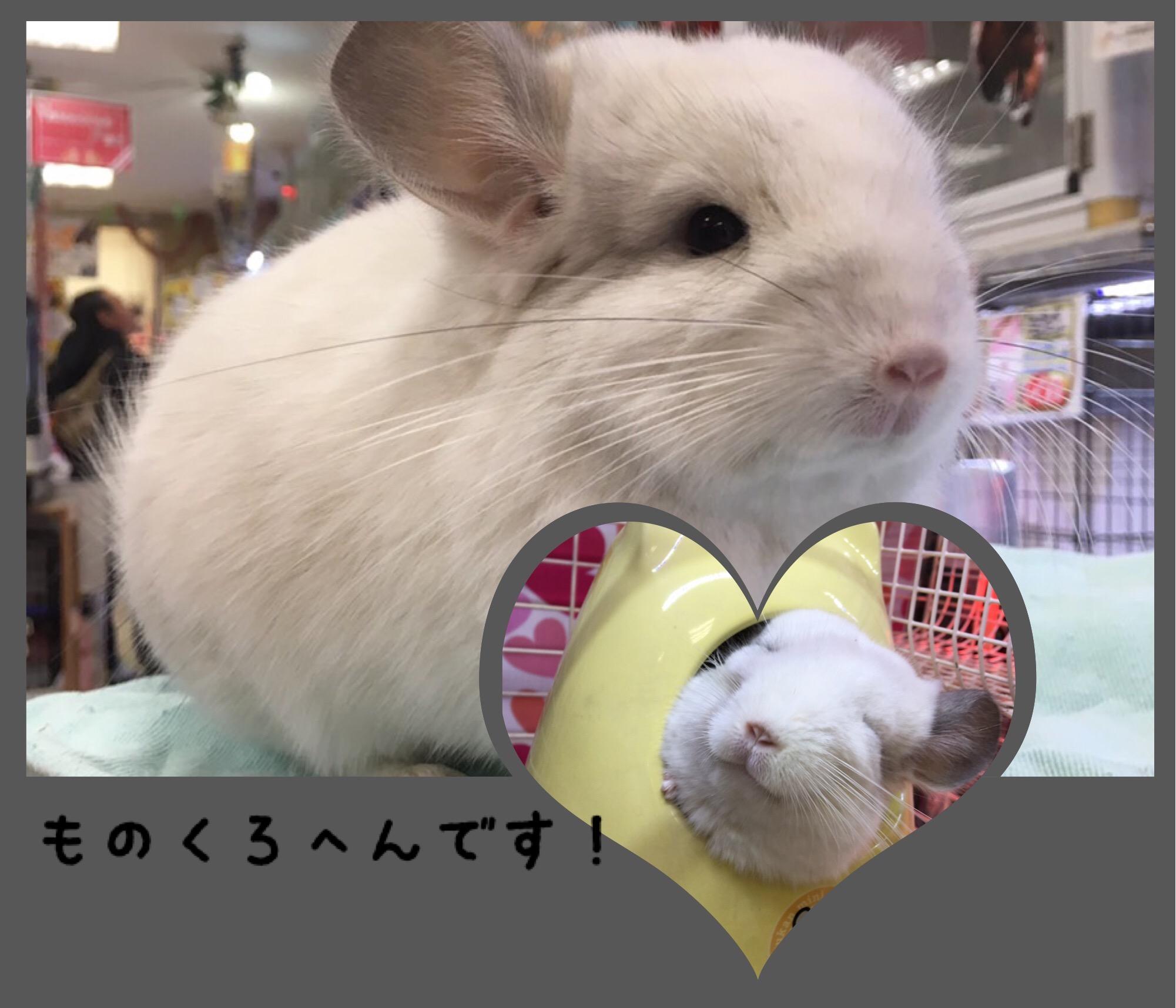 【 インター小動物 】チンチラモノクロ編🐭