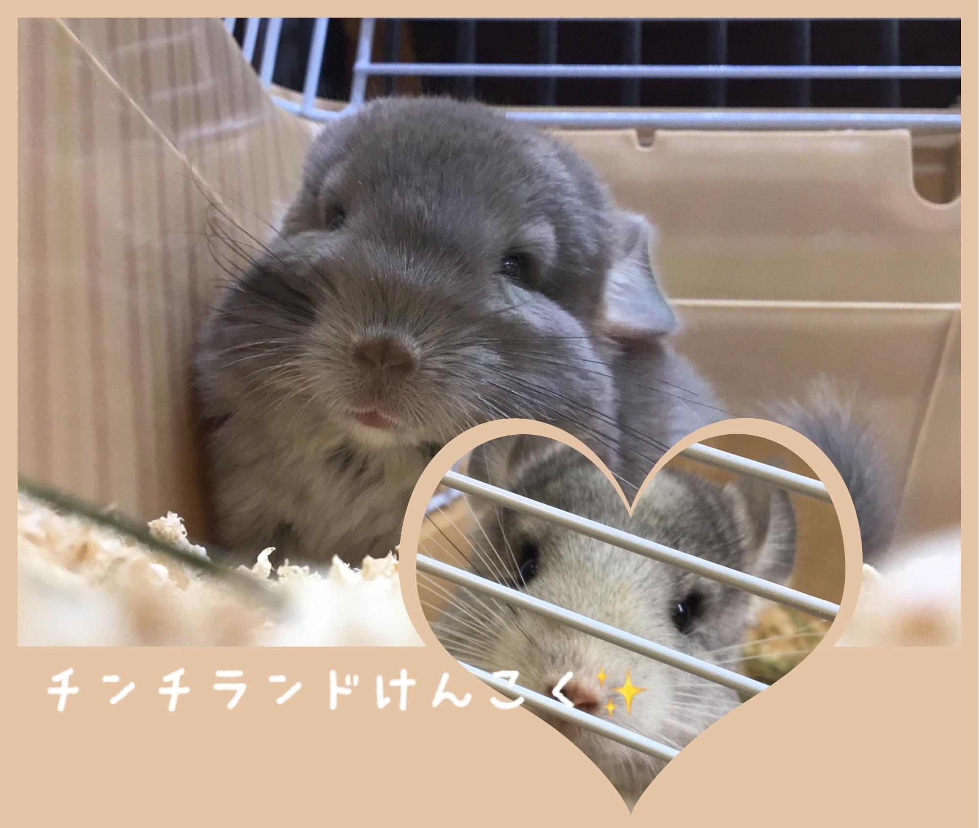 【 インター小動物 】チンチランド建国〜〜🏰✨②