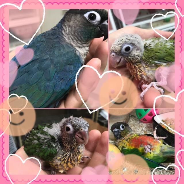【インター小動物】新着鳥類!!インコってる~(∩´∀`)∩やっほーい(∩´∀`)∩
