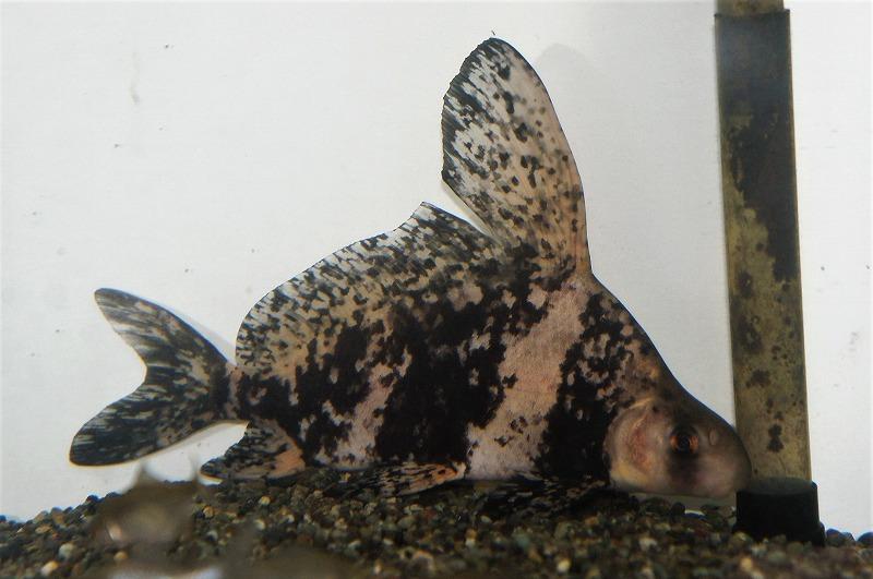 いいサイズの胭脂魚!