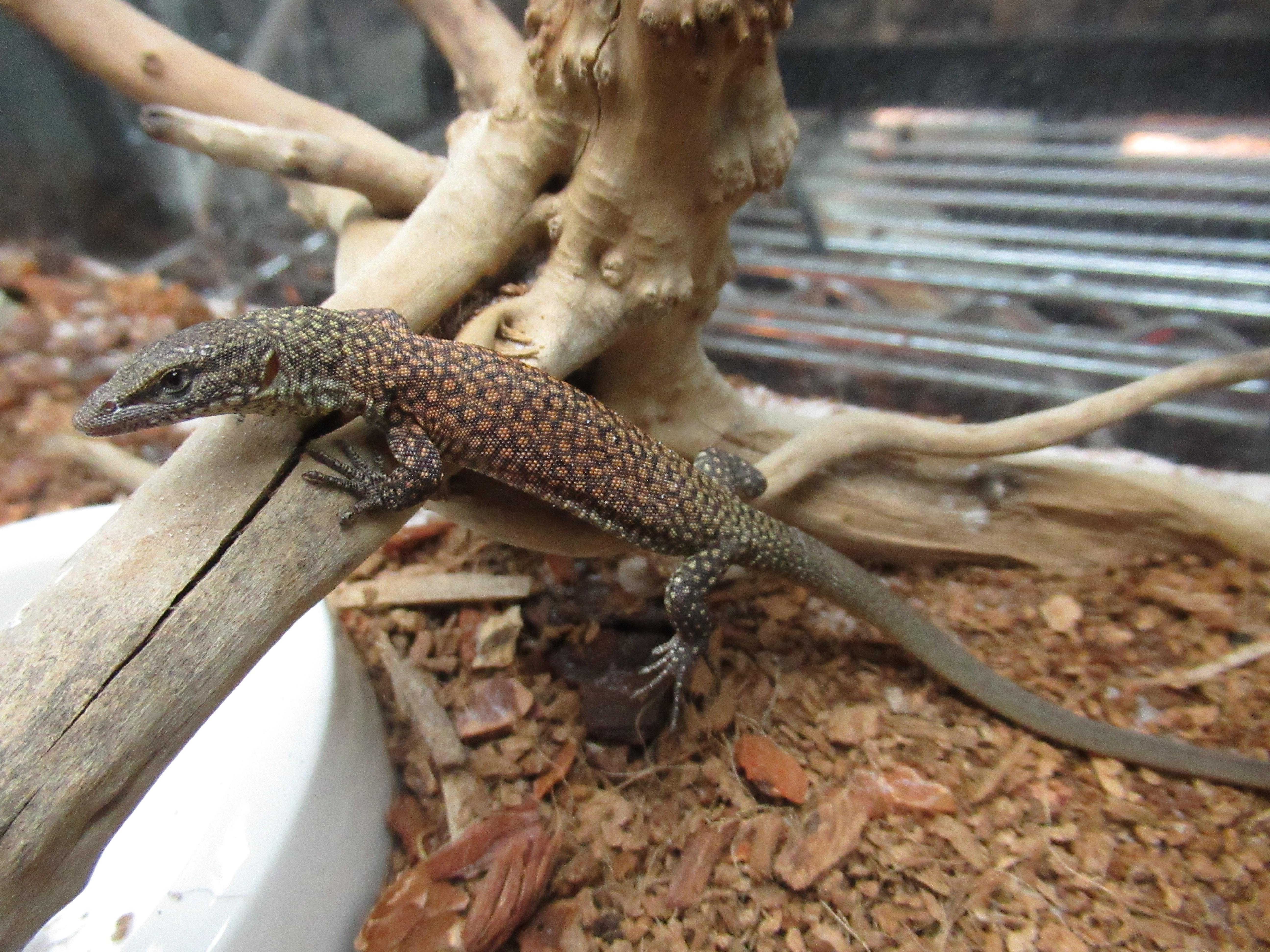 大蜥蜴!!!@みなとペポニ