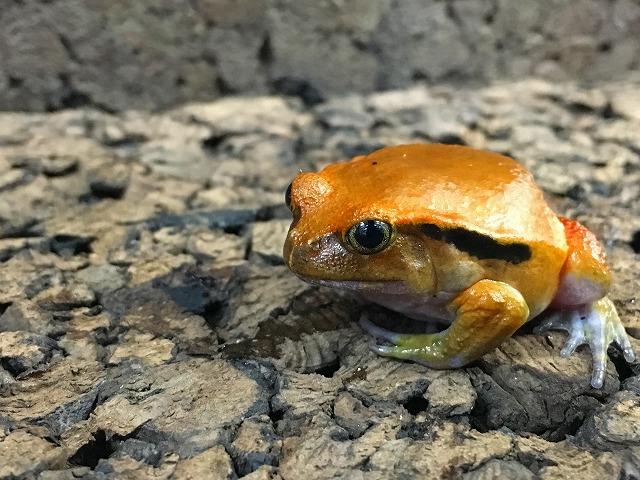 ガエル アカ トマト サビトマトガエル飼育の基本情報! 床材や餌、お世話の仕方