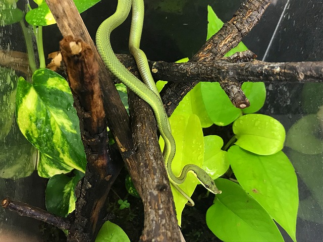 美しきナミヘビ@インター爬虫類