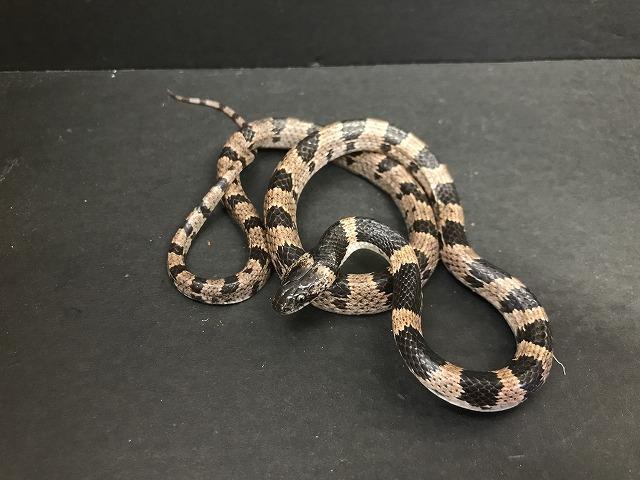 国産蛇+1@インター爬虫類