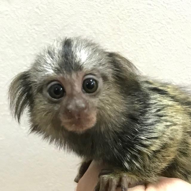 【春ペポニ】お猿さんだよ!